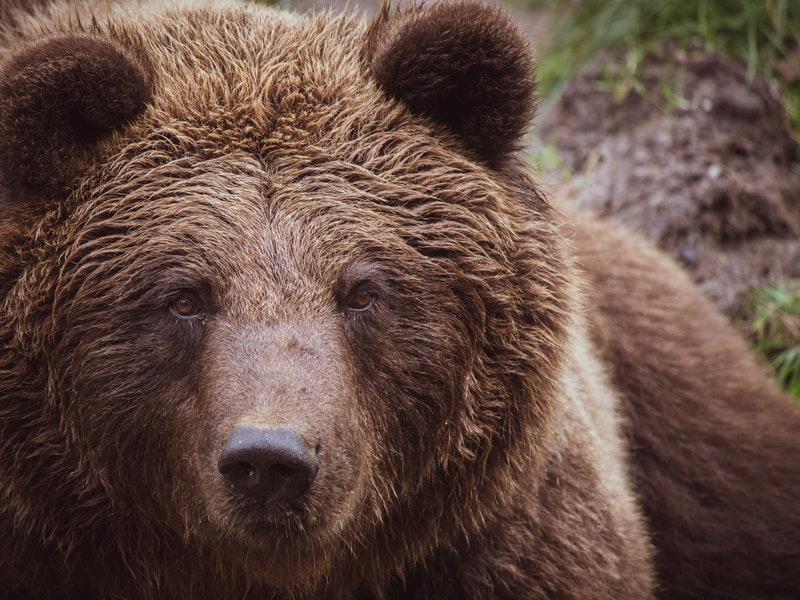 Sterilizarea urșilor